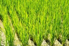 Rice gospodarstwo rolne cztery obraz stock