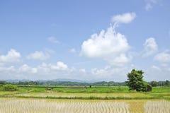 Rice gospodarstwo rolne dwanaście fotografia stock