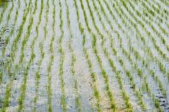 Rice gospodarstwo rolne dziesięć obrazy royalty free