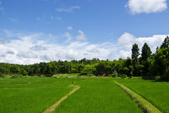 Rice gospodarstwo rolne jeden zdjęcie royalty free
