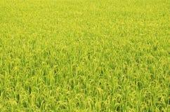 Rice gospodarstwo rolne jedenaście obrazy stock
