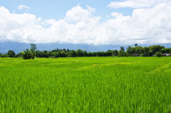Rice gospodarstwo rolne osiem obrazy royalty free