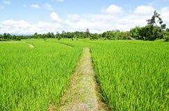 Rice gospodarstwo rolne pięć zdjęcie royalty free