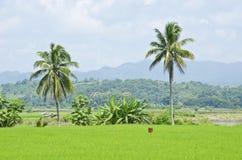 Rice gospodarstwo rolne piętnaście Zdjęcia Royalty Free