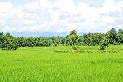 Rice gospodarstwo rolne trzy zdjęcia stock