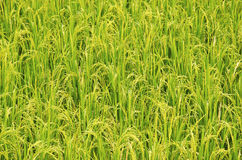 Rice gospodarstwo rolne trzynaście zdjęcie royalty free