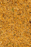 Rice grain background. Rice grain and other seed after harvest rice before separate it Stock Image