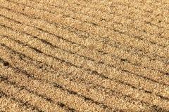 Rice grain with bran Stock Image