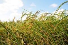 Rice grain. Royalty Free Stock Photography