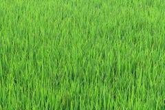 Rice and grain crops Stock Photos