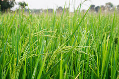 Rice grain with dewdrop and Insect pest. Young rice grain with dewdrop and Insect pest Royalty Free Stock Photography