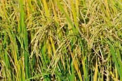 Rice grain grow Royalty Free Stock Photo