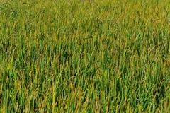 Rice grain grow Stock Photography