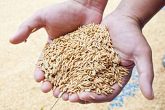 Rice grain in hand Royalty Free Stock Photography
