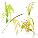 Rice grain paddy and leaf isolated on white Stock Image