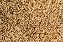 Rice grain Royalty Free Stock Photography