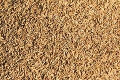 Rice grain Royalty Free Stock Photography