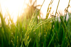Free Rice Grain With Dewdrop And Insect Pest. Stock Photo - 93713180