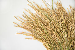 Rice grain yield or Golden rice spikes Stock Images