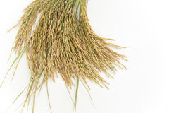 Rice grain yield or Golden rice spikes Royalty Free Stock Photography