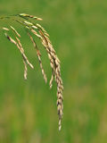 Rice grains Royalty Free Stock Photography