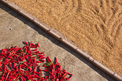 Rice grains and red chili peppers drying on the ground after harvest Stock Image