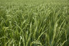 Rice grains ripening on stalk Stock Images
