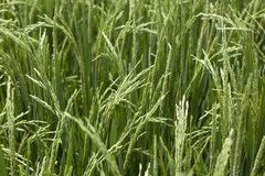 Rice grains ripening on stalk Royalty Free Stock Image