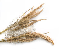 Rice grains and stalks Stock Image