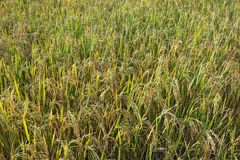 The rice grains are waiting. The rice grains are waiting to be harvested Royalty Free Stock Photo