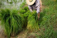 Rice. Grandma was preparing to plant rice Stock Photos