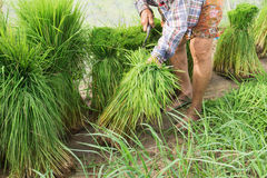Rice. Grandma was preparing to plant rice Stock Photo