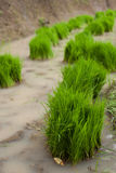 Rice grass. Bundles of rice grass ready for planting in paddy fields Stock Images