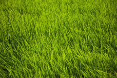 Rice grass. Long green rice grass in paddy fields in Bali, Indonesia Royalty Free Stock Images