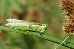 Rice grasshopper Stock Photos