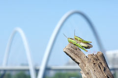 Rice grasshopper Royalty Free Stock Images