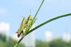 Rice grassshopper Stock Images
