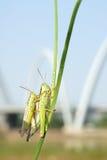 Rice grassshopper Stock Image