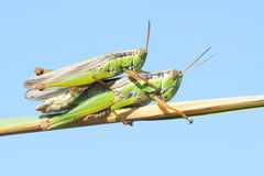 Rice grassshopper Stock Photos