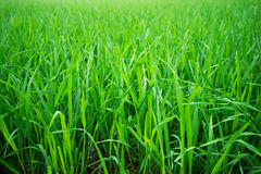 Rice green field in Asia royalty free stock image