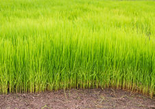 Rice green field Royalty Free Stock Photos