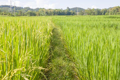 Rice. The Green rice in the field rice background, thailand harvest Stock Images