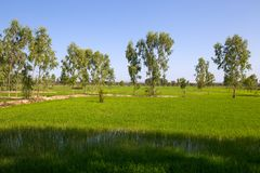 Rice green fields in a sunny day, Thailand. Asia royalty free stock photos