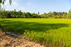 Rice green fields in a sunny day, Thailand. Asia royalty free stock image