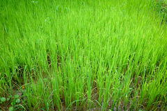 Rice  green growing in paddy fields Royalty Free Stock Images