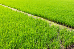 Rice green leaves with berms. Stock Photos