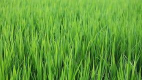 Rice stock footage