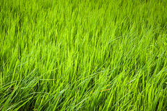 Rice green when the wind. Rice green when the wind in everning Stock Photography