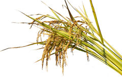 Rice grow up on white background Royalty Free Stock Photos