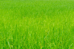 The rice growing in cornfield Royalty Free Stock Image